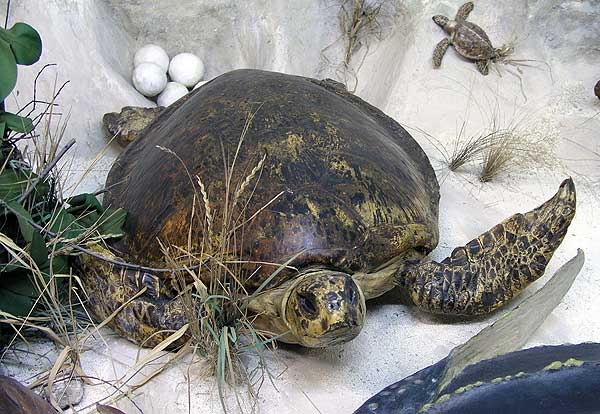 Черепахи в диораме