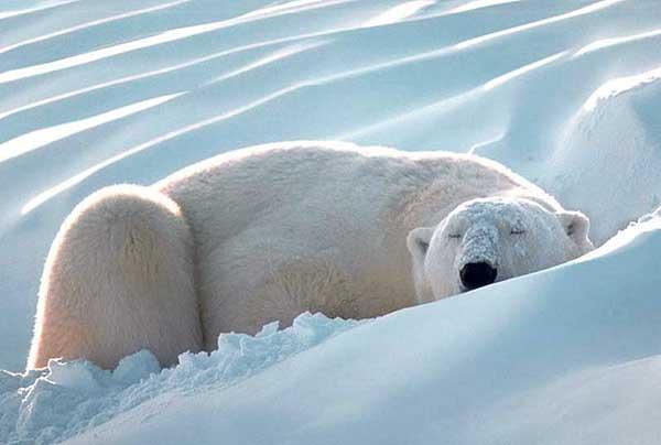 Белый медведь - умка