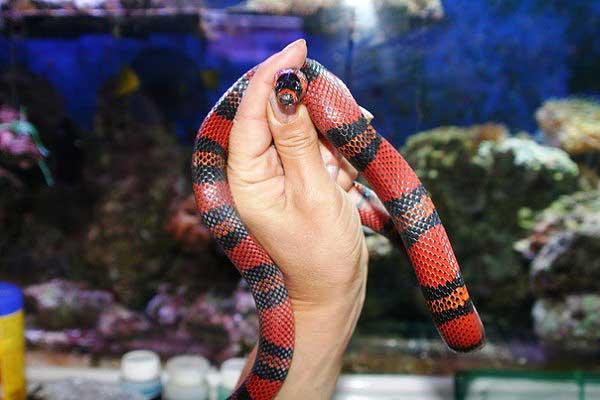 Сбежавшая королевская змея
