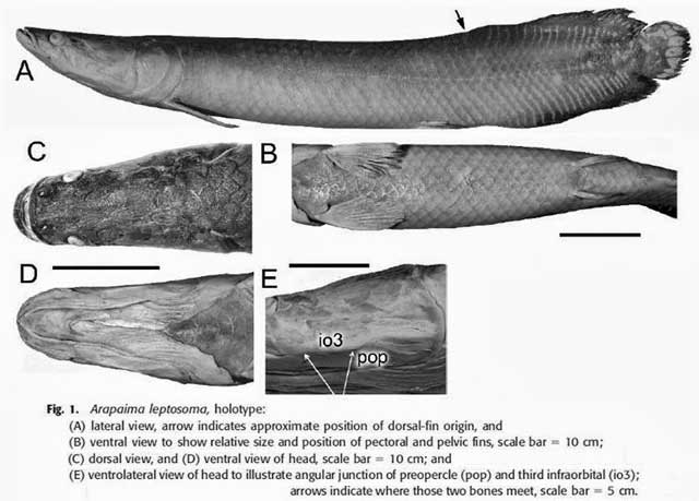 Arapaima leptosoma. Голотип