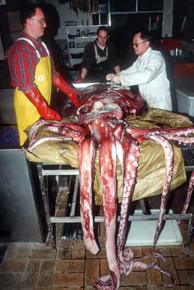 Изучение гигантского кальмара. Фото Mark Norman