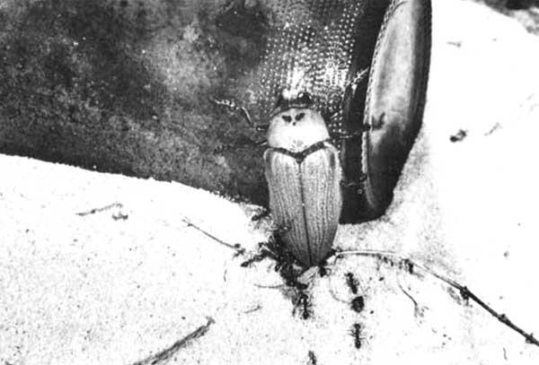 На жука напали муравьи и пытаются отгрызть ему пенис. Фото из статьи D.T. Gwynne, D.C.F. Rentz, 1983