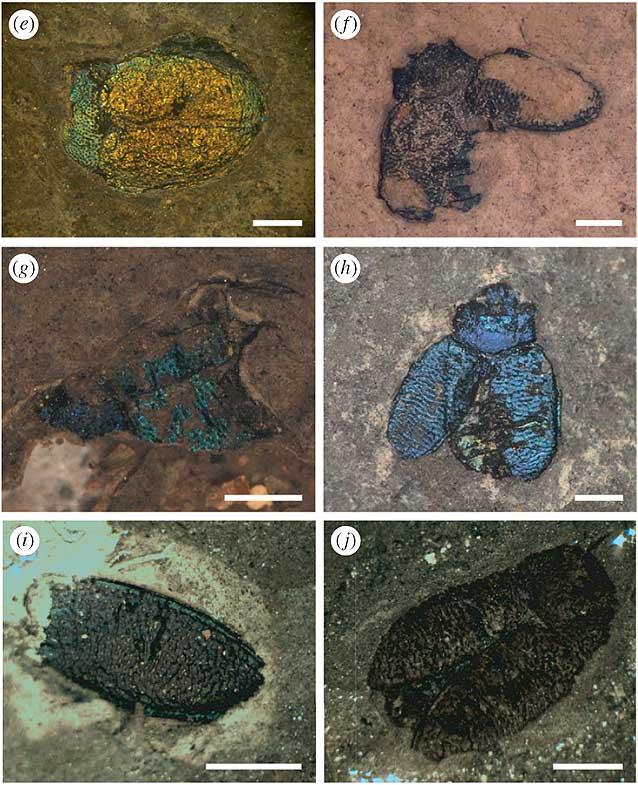Ископаемые жуки