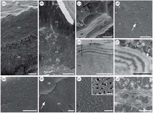 Ультраструктура кутикулы ископаемых жуков