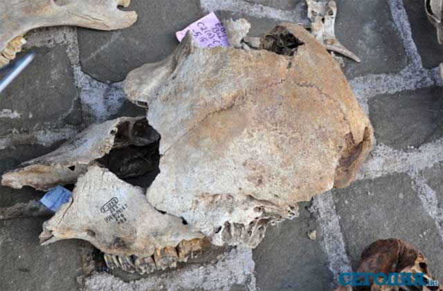 Череп ископаемого бизона. Фото Б. Ридуш