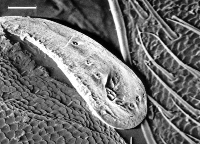 Сопло на брюшке жука-бомбардира