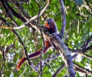 Представитель нового вида прыгунов (Фото: Julio Dalponte / WWF)