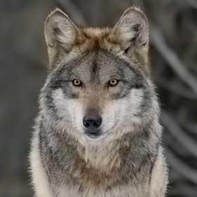 Волк (Canis lupus). Фото с сайта http://carnivoraforum.com
