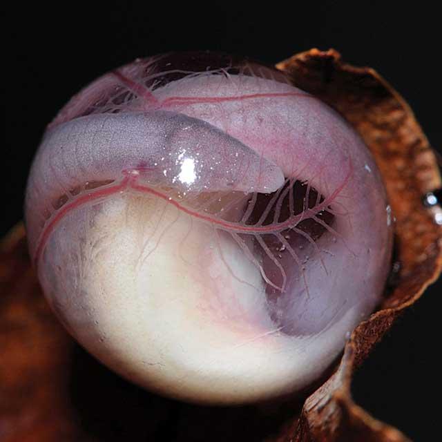 Яйцо червяги семейства Chikilidae. Виден формирующийся зародыш. Фото авторов оригинальной статьи