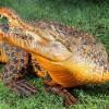 Оранжевый крокодил Снэппи (Фото: Alex Coppel Herald Sun)