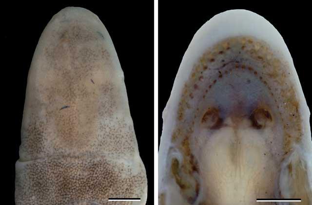 Голова червяги Microcaecilia dermatophaga. Фото авторов оригинальной статьи