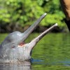 Речные амазонские дельфины. Фото Кевин Шейфер