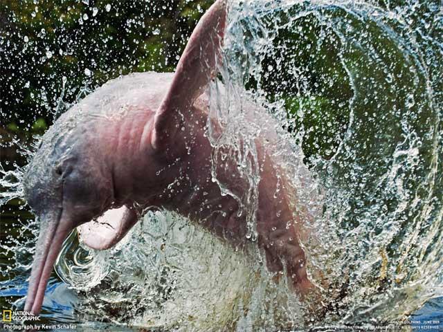 Самец речного амазонского дельфина. Фото Кевин Шейфер
