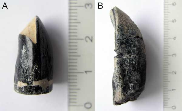 Зубы динозавров, использованные для определения температуры тела: А. Brachiosaurus brancai. B. Camarasaurus sp. Шкала линейки — сантиметры (фото из дополнительных материалов к статье Роберта Игла с соавторами).