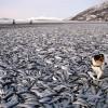 20 тонн сельди на пляже в Норвегии