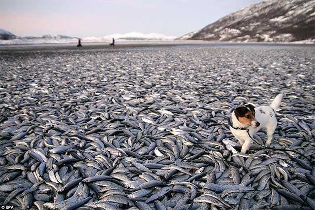 20 тонн сельди на пляже в Норвегии. Фото REUTERS/Scanpix Norway