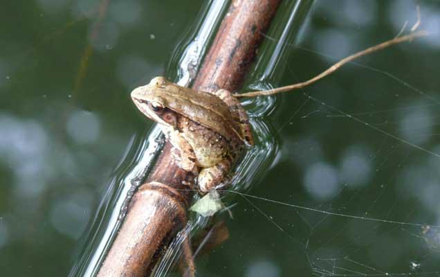 Музыкальная лягушка. Фото Jianguo Cui