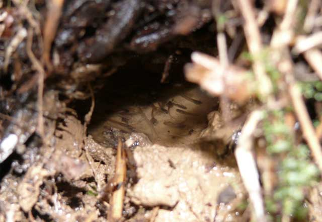 Головастики музыкальной лягушки Babina daunchina в норе. Фото из статьи J. Cui, Y. Tang, P. M. Narins, 2011