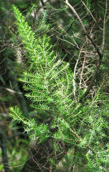 Встречается древовидный вереск. Кроме Абхазии растёт ещё в Северной Африке.
