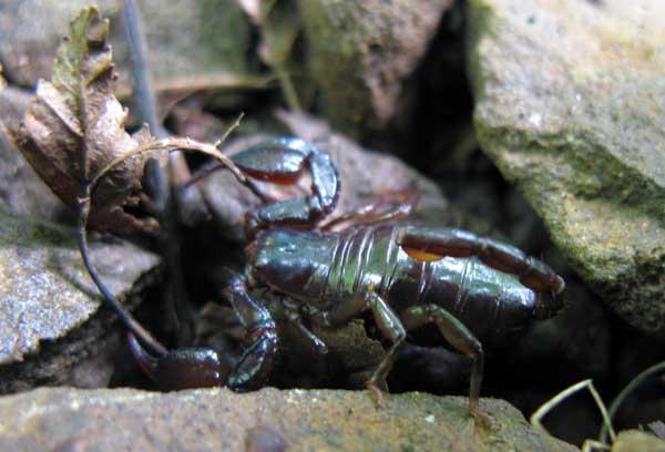 В лесной подстилке кишат мингрельские скорпионы.