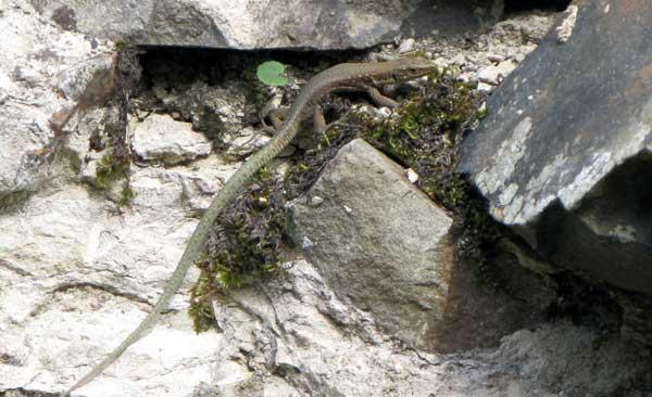Один из 18 видов кавказских скальных ящериц.