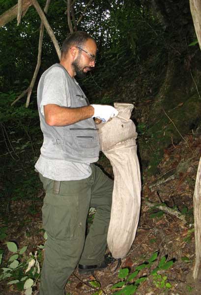 Просеивание лесной подстилки – один из самых эффективных методов сбора пауков.