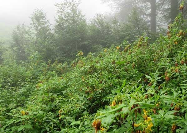 Жёлтый рододендрон («азалия») в туманном лесу.