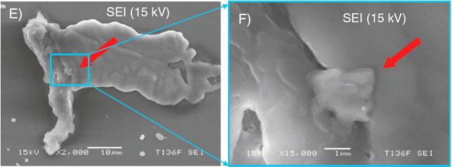 Клетки обонятельного эпителия под сканирующим микроскопом (дополнительные материалы к оригинальной статье)