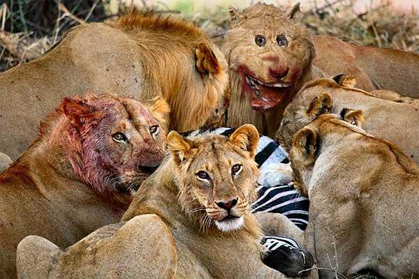 Грипсхольмский лев: Photoshop