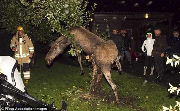 Пьяный лось на дереве