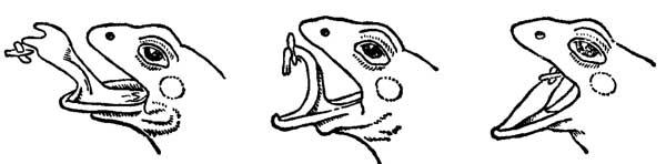 Язык лягушки как орудие лова насекомых