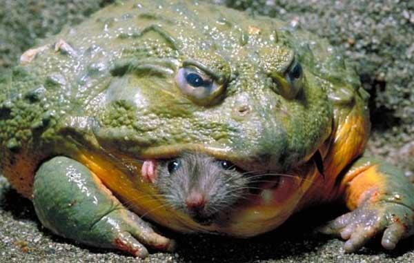 Африканская лягушка-бык поедает мышь