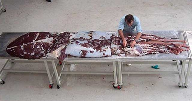 Mesonychoteuthis hamiltoni. Фото с сайта theudericus.free.fr