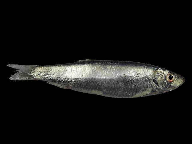 Чешуя в обход законов оптики делает рыб невидимыми для хищников. Фото Hans Hillewaert/Wikipedia