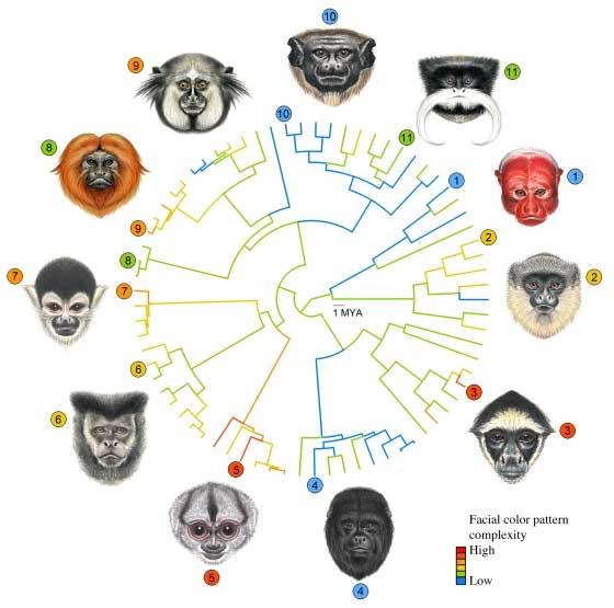 Лица обезьян Нового Света