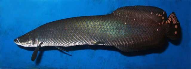 Фото Arapaima leptosoma из Википедии