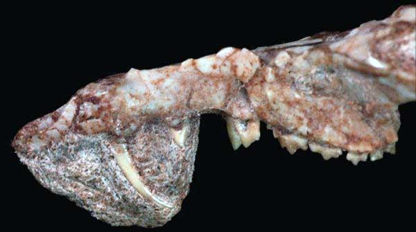 Череп Cronopio dentiacutus. Фото из статьи G. W. Rougier, S. Apestegu?a, L. C. Gaetano