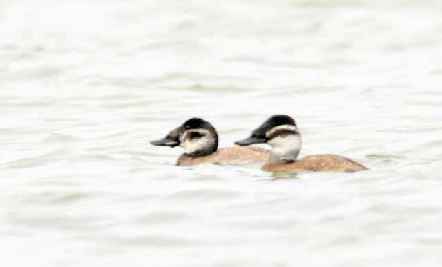 Савки. У потревоженных птиц торчащий хвост может быть не виден. Фото Т. Жеребцова