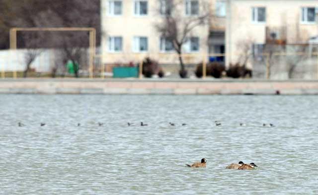 Птицы на озере. Село Михайловка (Сакский район)