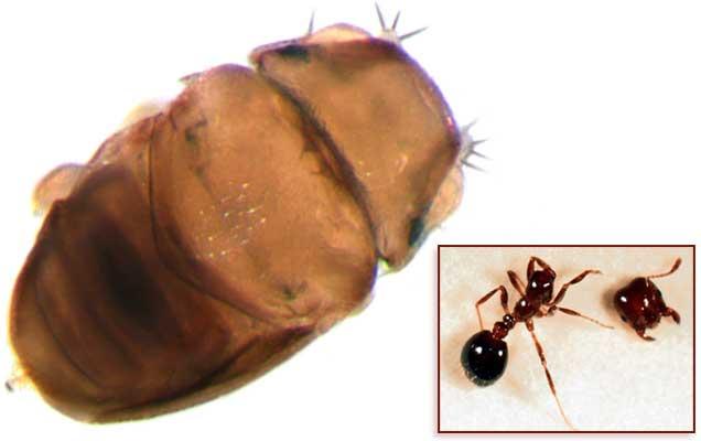 Самая маленькая муха Euryplatea nanaknihali. Фото из оригинальной статьи