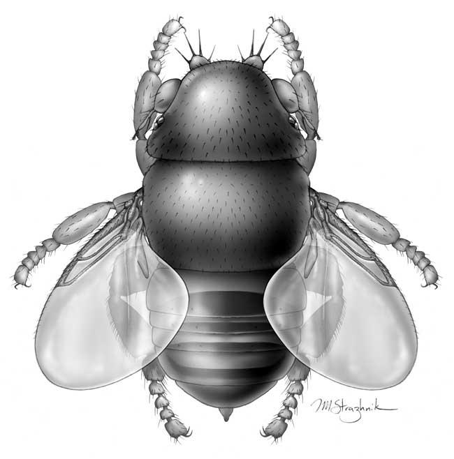 Самая маленькая муха Euryplatea nanaknihali. Реконструкция: Inna-Marie Strazhnik