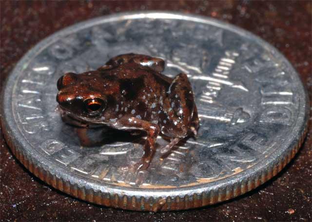 Самое маленькое позвоночное - лягушка Paedophryne amauensis. Фото из оригинальной статьи