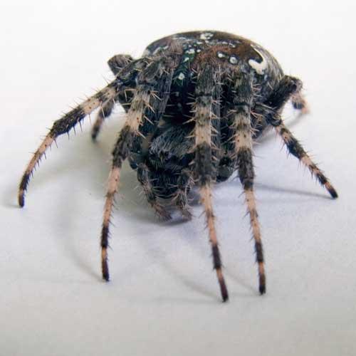 Spider (фото С.В. Леонов)