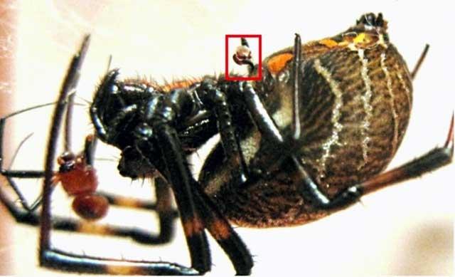 После спаривания: пальпа (в красном прямоугольнике) осталась в половых путях самки, а самец - в желудке