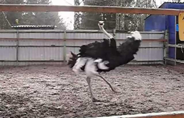 Танцующий страус из Крыма