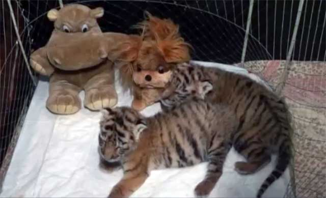 В ялтинском зоопарке «Сказка» родились двое амурских тигрят