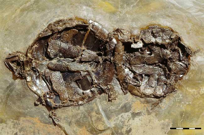 Смерть ископаемых черепах во время секса. Фото из оригинальной статьи