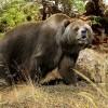 Пещерный медведь Ursus spaeleus. Реконструкция - Роман Учитель
