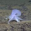 Осьминог-привидение. Фото NOAA